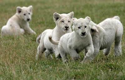 英国动物园诞生6只珍稀小白狮(图)
